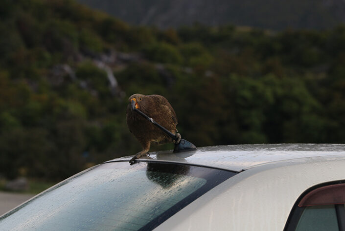 Cheeky Kea by Raewyn Murray Photography